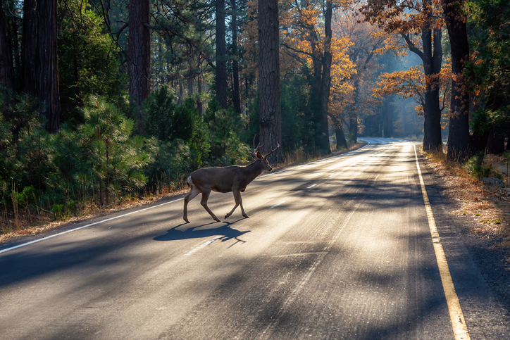 Image of PRESS RELEASE - November Most Dangerous Month for Deer Activity